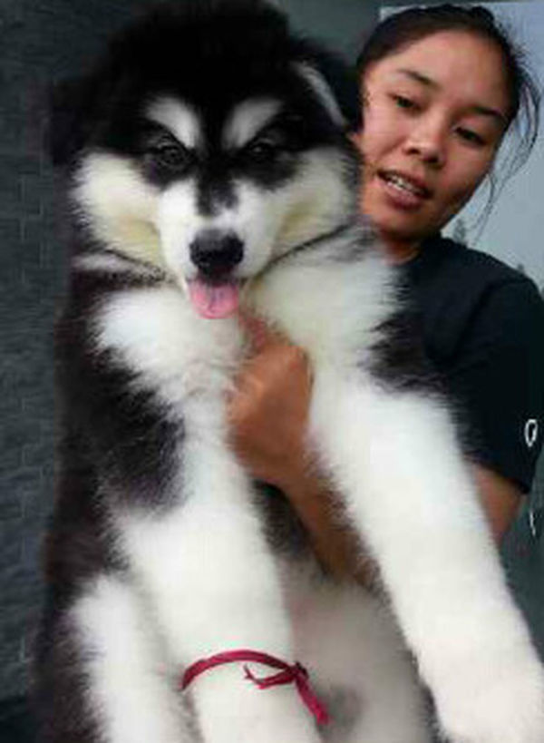 Malamute puppies.... Dog Lover's In Jakarta, Indonesia