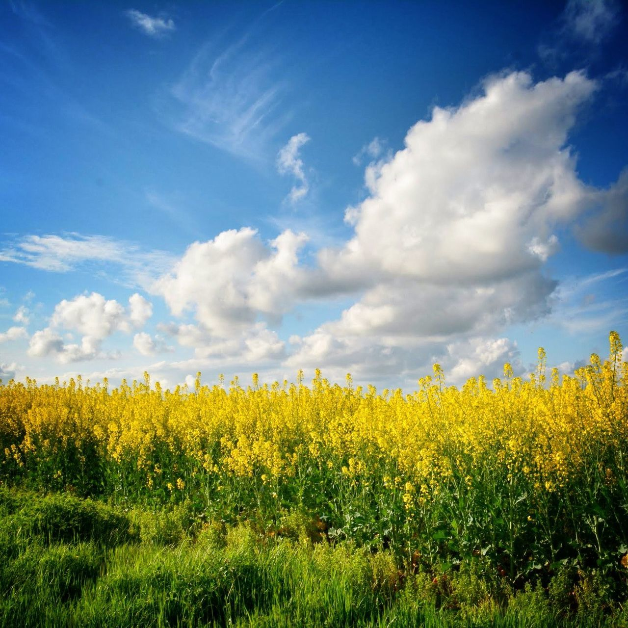 Yellow Flowers Blooming Against Sky On Field