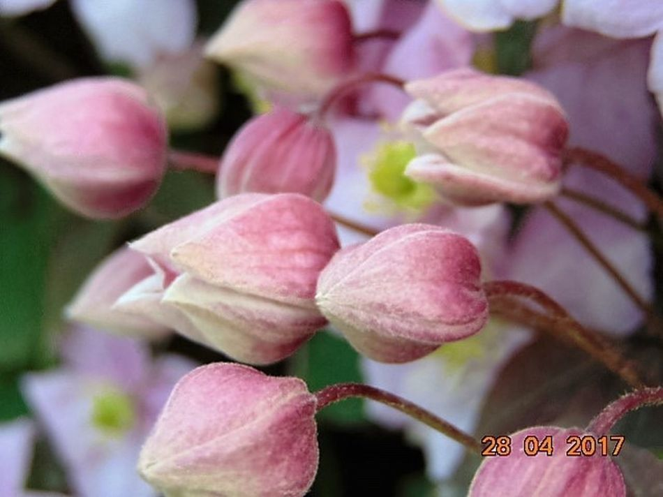 Close-up Clematis Montana Buds Growth Beauty In Nature Freshness St Agnes Day Pink Color No People