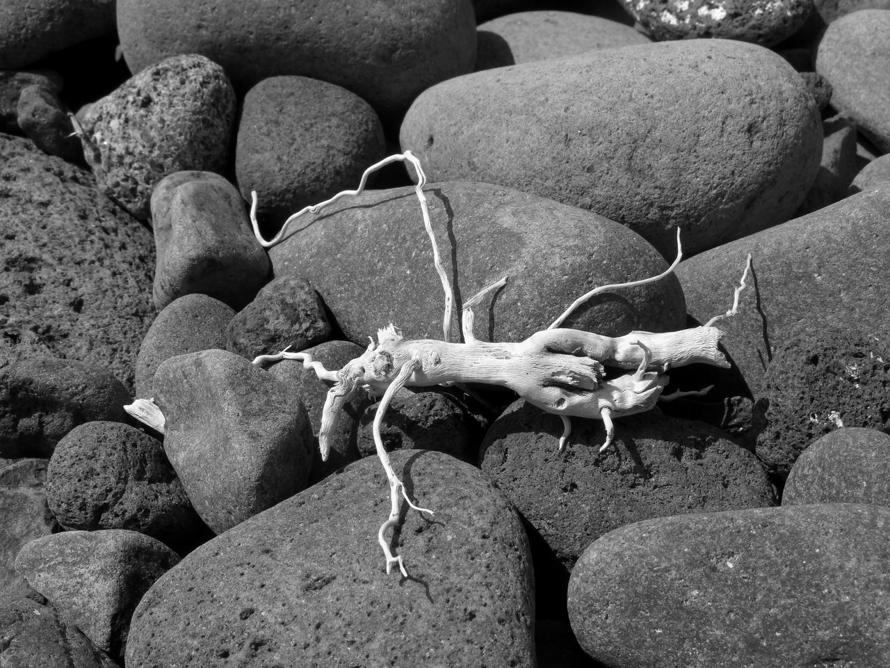 Piece of wood on pebbles with a shape of an animal, seen at the beach of Canico on the island of Madeira. Animal Themes Black And White Branch Close-up Day Nature No People Outdoors Pebbles On A Beach Rock - Object Round Shape Wood - Material