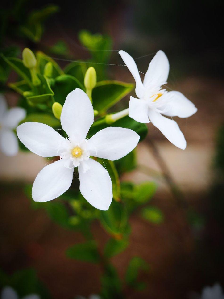 Flower White Color Petal Fragility Beauty In Nature Flower Head Freshness Blooming Close-up Plant No People EyeEm Best Shots EyeEm EyeEm Gallery Ervatamia Gardenia White Flower