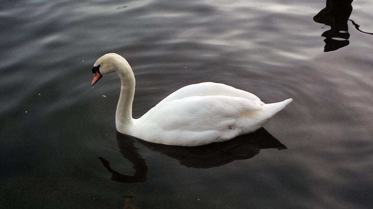 Lake Bird White Color Water Bird Animal Themes Animals In The Wild