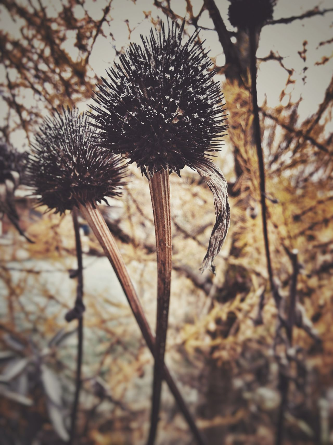 Echinacea Echinacea Purpurea Autumn Faded Beauty Melancholic Nature Focus On Foreground Plant Growth Flower Beauty In Nature Thistle Close-up Outdoors Dried Plant No People Fragility Dried Flower Head Autumn Colors