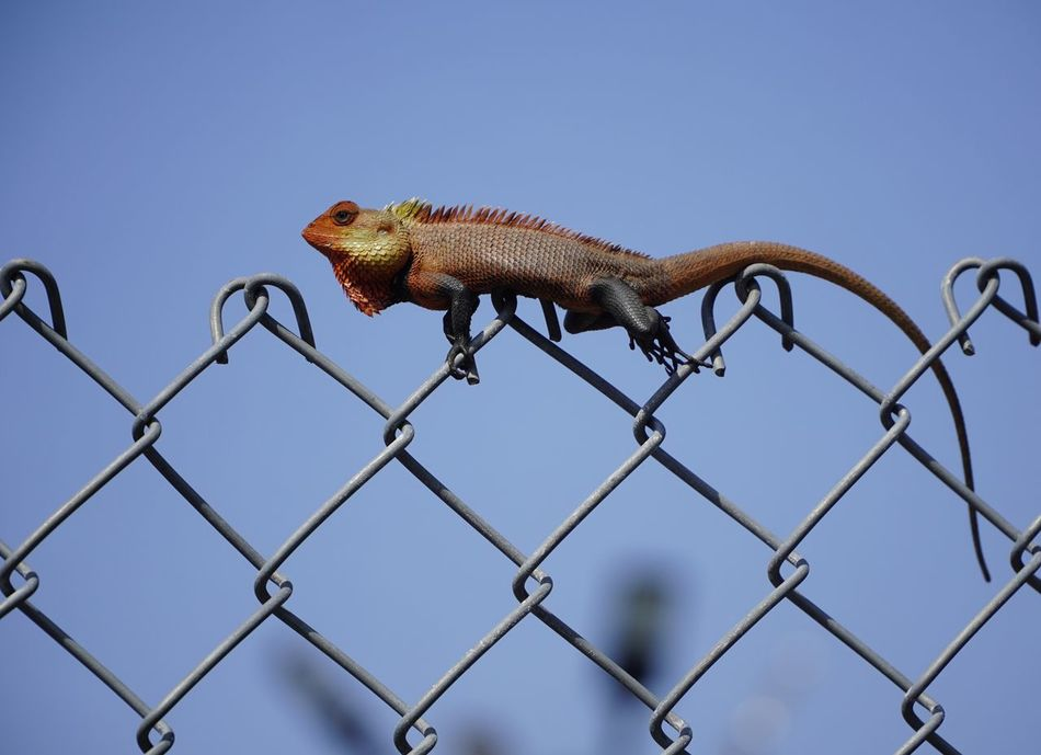 Animal Themes Animal Wildlife Animals In The Wild Bokeh Chameleon Chameleon_collection Chameleons Clear Sky Day Fence Garden Garden Lizard Lizard Low Angle View Nature Nature No People One Animal Outdoors Perching Reptile Sky Sony India Sonyalpha Tail