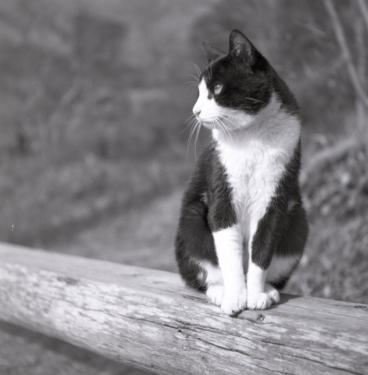 Pets Animal Themes Cat Outdoors Close-up Wild Wildlife Animals In The Wild Animal Animal Wildlife Animal Photography Animal_collection Cats Cats Of EyeEm Film Film Photography Filmisnotdead Filmcamera Fujifilm Blackandwhite Black And White Blackandwhite Photography Black & White Monochrome Nature