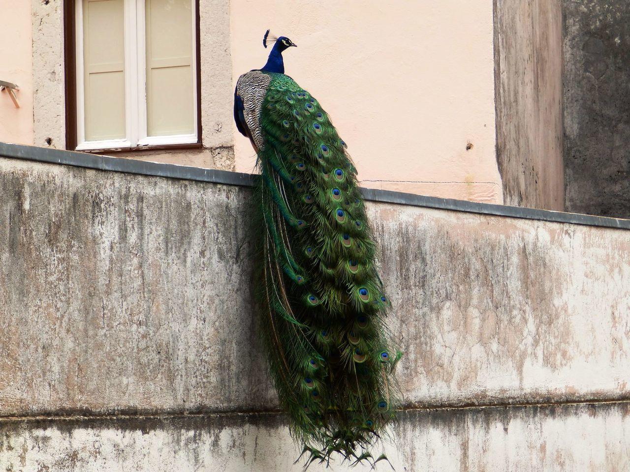 Beautiful stock photos of peacock, Animal Themes, Animal Wildlife, Animals In The Wild, Architecture