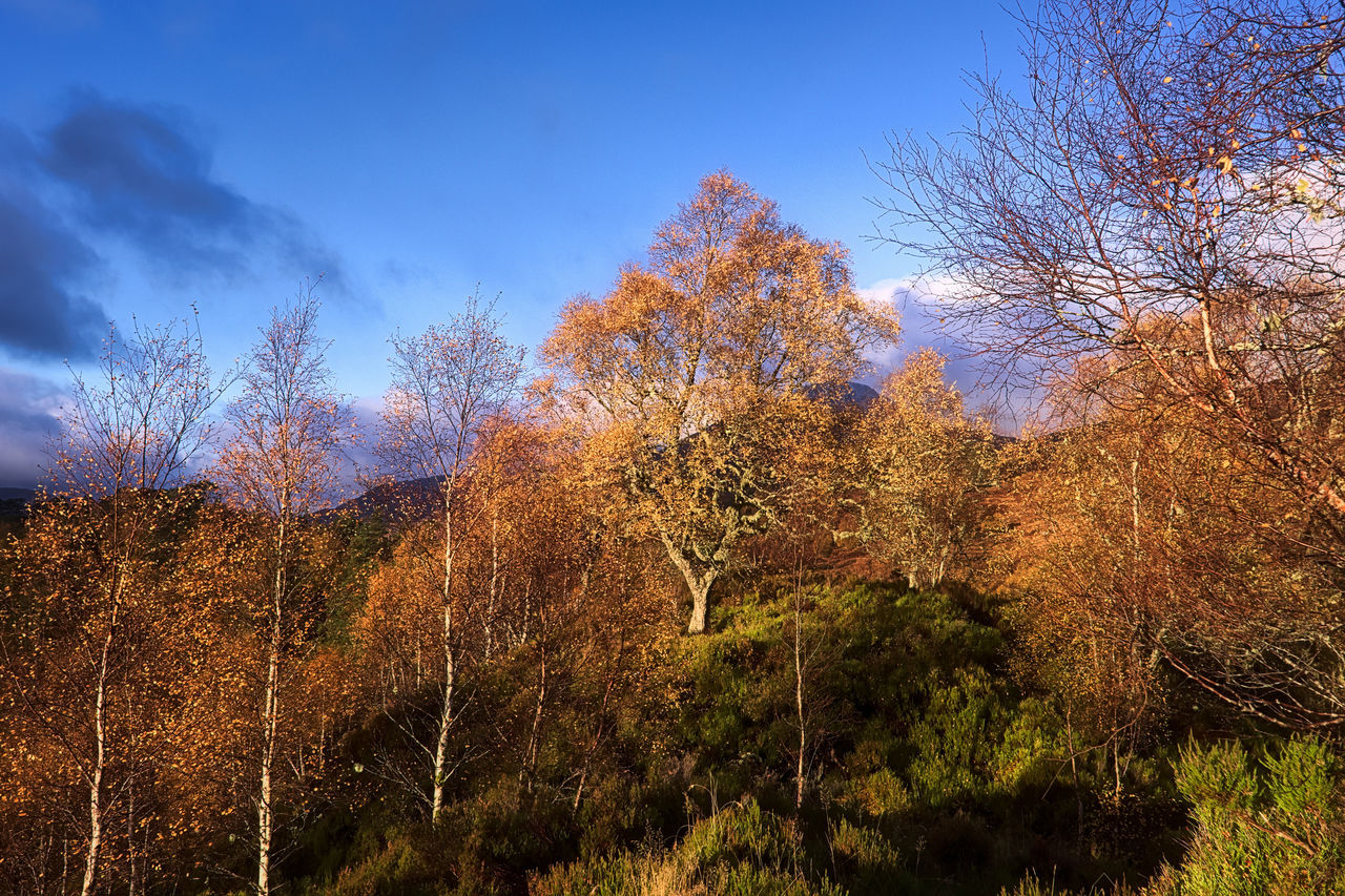 Morning Gold: glorious sunlight illuminating a stand of birch trees against a blue sky, Glen Affric. For a couple of years there has been an obvious new and ghastly gravel path around the River Walk. This, however, is the start of the proper, old path that I learned from my first visits to the Glen - rapidly becoming overgrown, as it ought to be. Hiking boots should be required, but heather is a friendly kind of wild. Beauty In Nature Blue Sky Caledonian Forest Landscape Light Morning Light Nature Nature Nature Photography Outdoors Scenics Scotland Sky Tranquility Tree Tree Trees