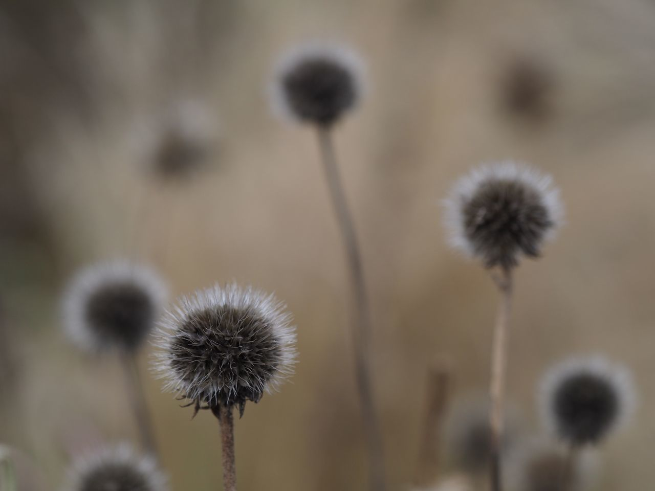 Look like balloons ascending. Flower Fragility Nature Growth Flower Head Focus On Foreground Plant Freshness Beauty In Nature No People Blooming Outdoors Close-up Pussy Willow Day Nature On Your Doorstep First Eyeem Photo Quite Moments Silent Moment Nature Softness Plant