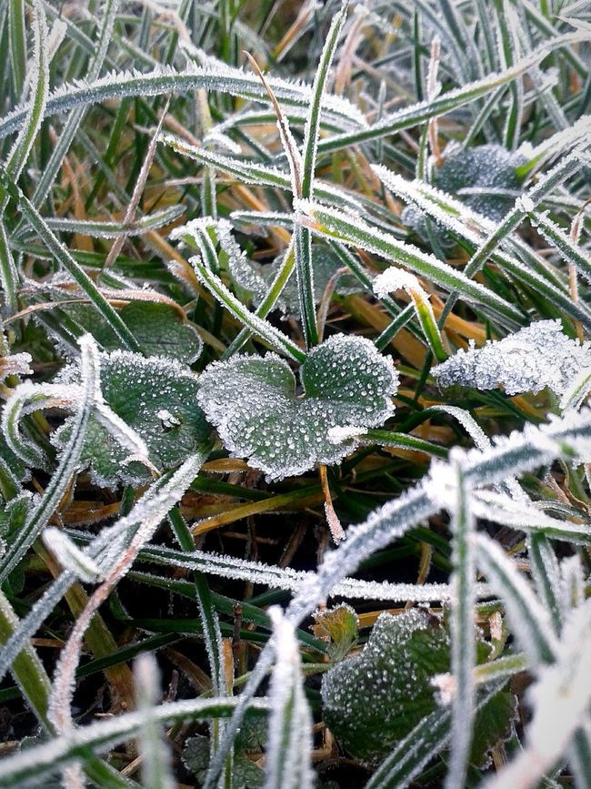 Grass Hoarfrost White Frost Frost Rime Hoary It's Cold Outside