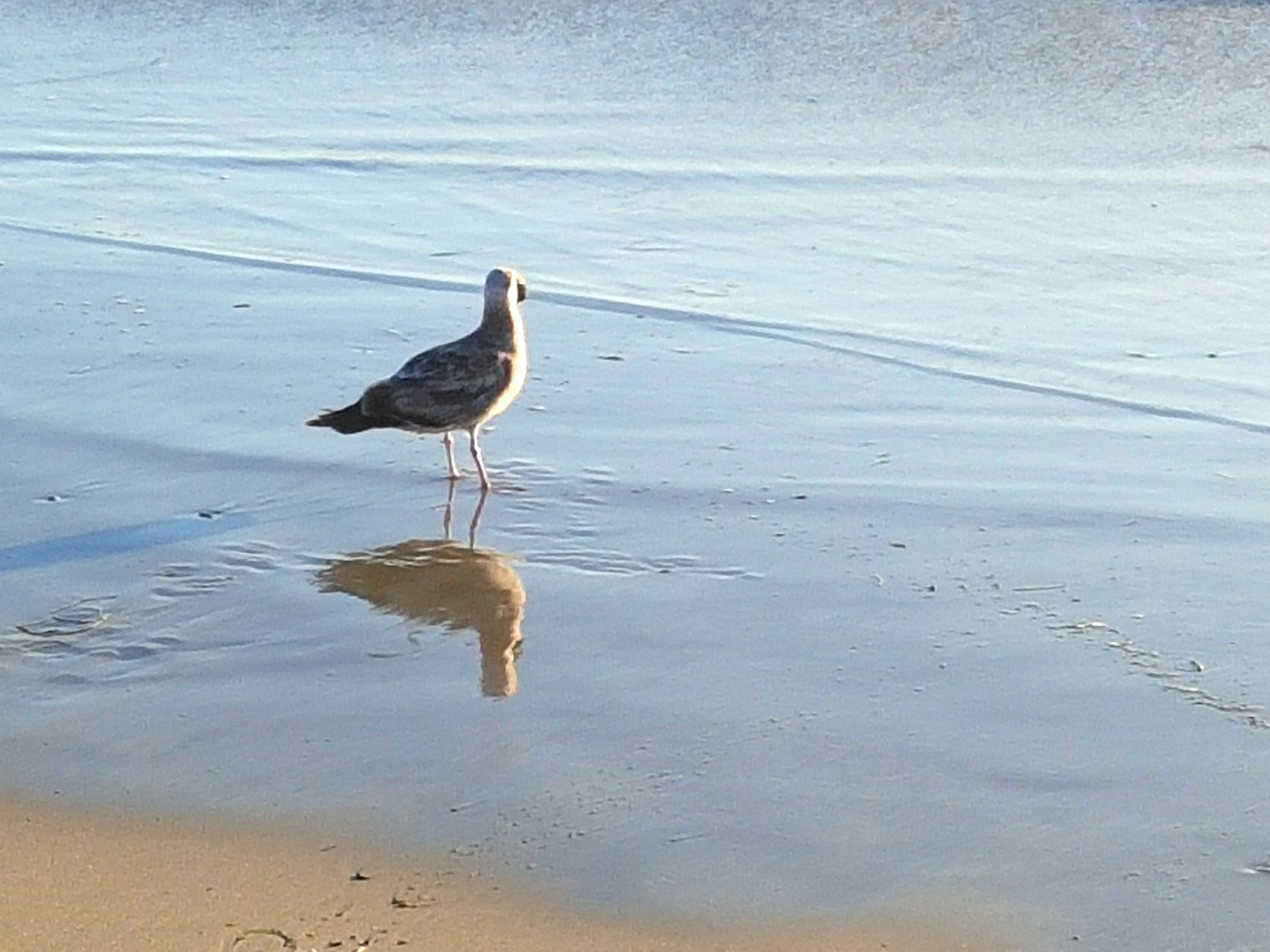 bird, animal themes, water, animals in the wild, wildlife, beach, one animal, full length, sea, shore, sand, nature, reflection, seagull, side view, beauty in nature, lake, outdoors, rippled, day