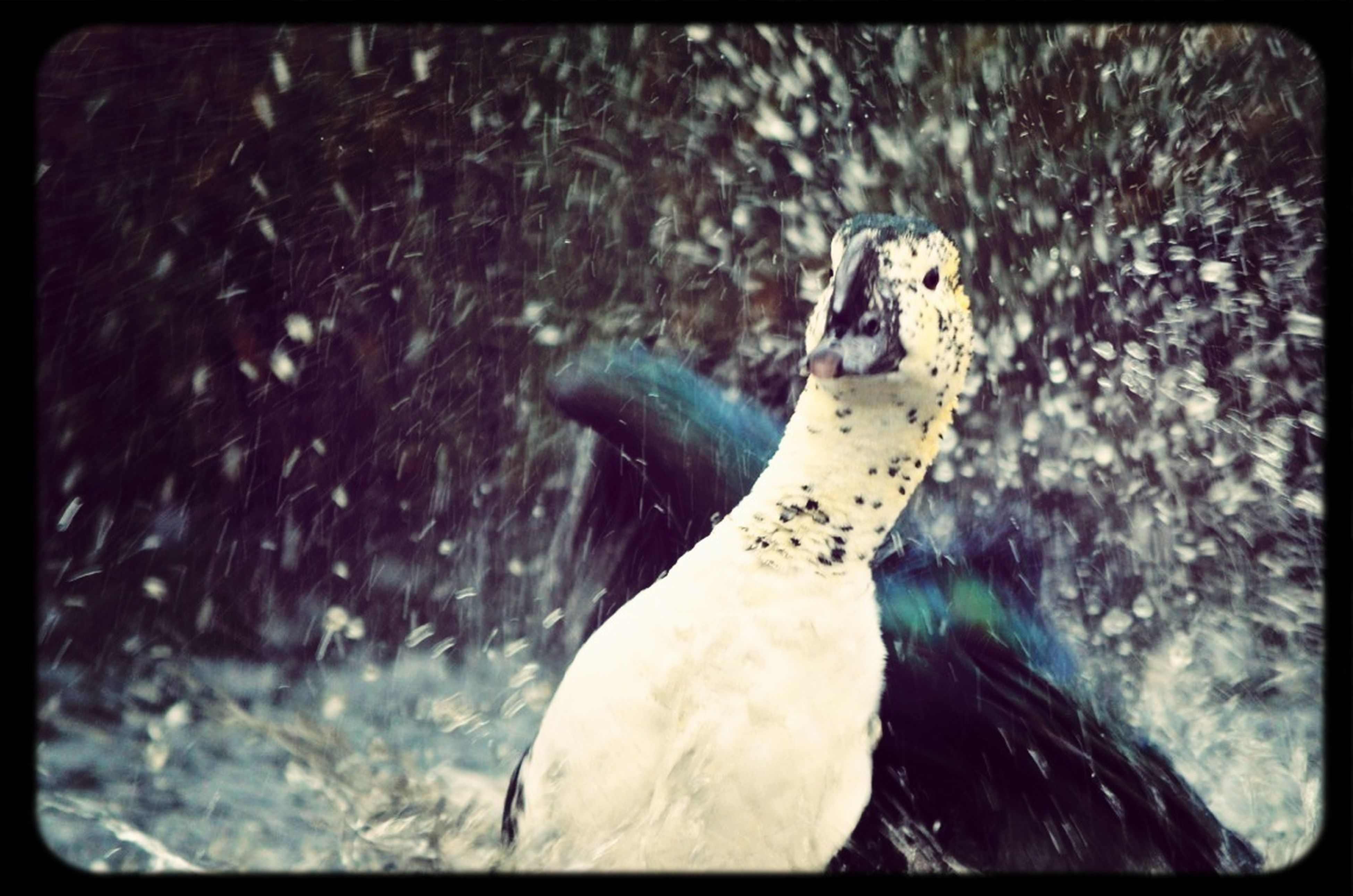 animal themes, animals in the wild, wildlife, one animal, bird, water, swimming, nature, auto post production filter, transfer print, beak, lake, sea life, two animals, close-up, focus on foreground, day, outdoors, underwater, side view