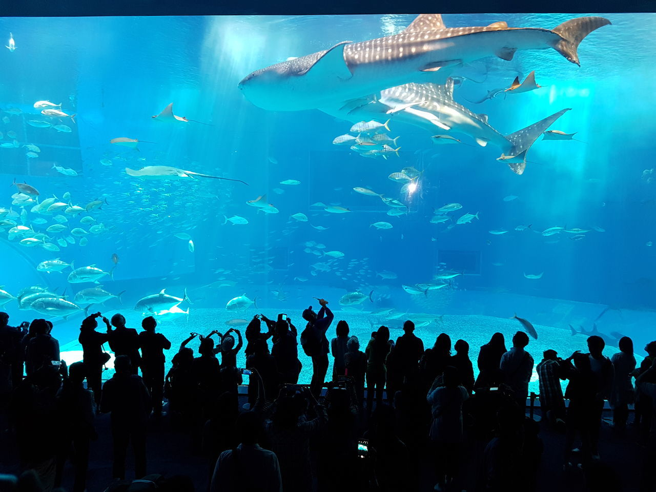 fish, aquarium, large group of animals, sea life, real people, animals in captivity, large group of people, water, swimming, indoors, silhouette, leisure activity, animals in the wild, lifestyles, men, blue, watching, whale shark, women, nature, crowd, day