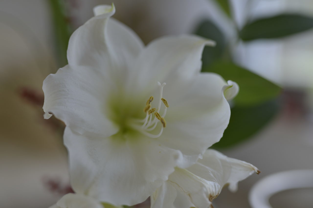 Amaryllis02 Amaryllidaceae Amaryllidaceae Family Animal Themes Beauty In Nature Blooming Close-up Day Flower Flower Head Fragility Freshness Growth Nature No People Outdoors Petal Plant White Color