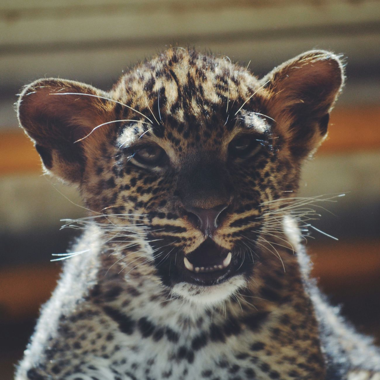 Photography Animal Photography Baby Bebe Leopard Zoo Lapalmyre Été Journeeparfaite Photo