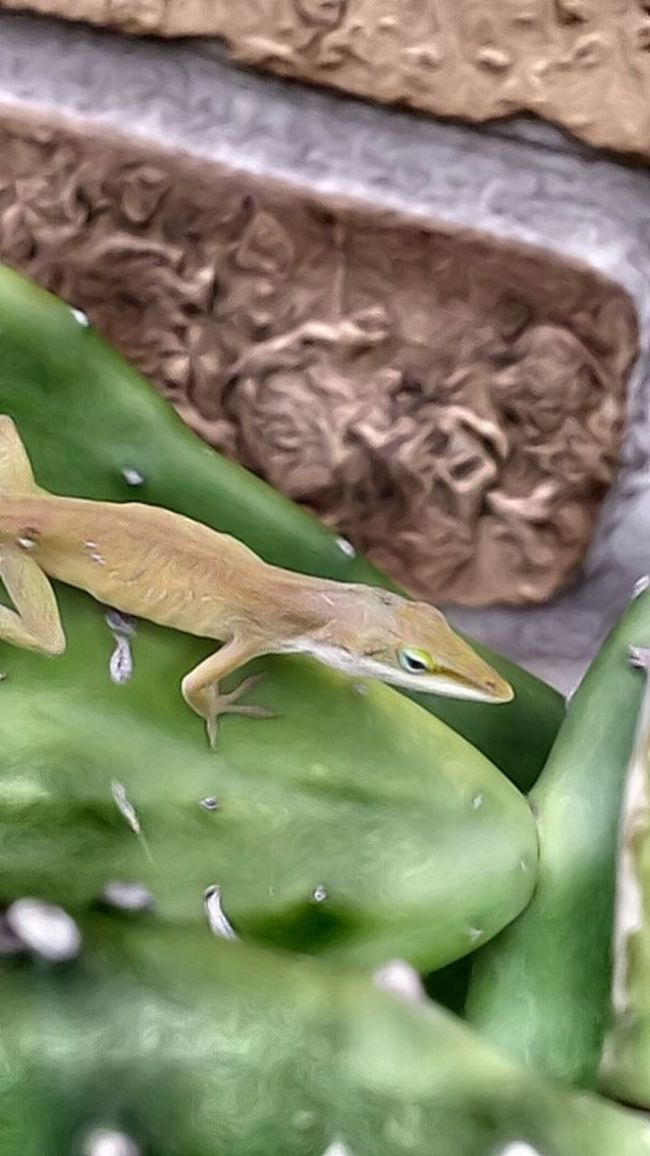 Little Lizard an Anone I'm told. Cactus Brick And Mortar Nature Photography