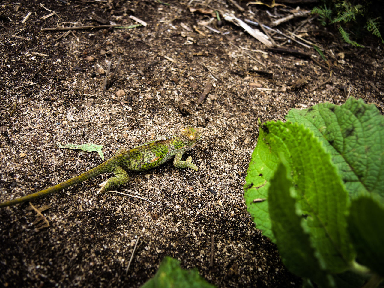 Animal Themes Animal Wildlife Animals In The Wild Chameleon Close-up Day Full Length Green Color Iguana Landscape Leaf Lesotho Nature Nature Nature_collection Naturelovers No People One Animal Outdoor Outdoor Photography Outdoors Outside Reptile Usambara UsambaraMountains