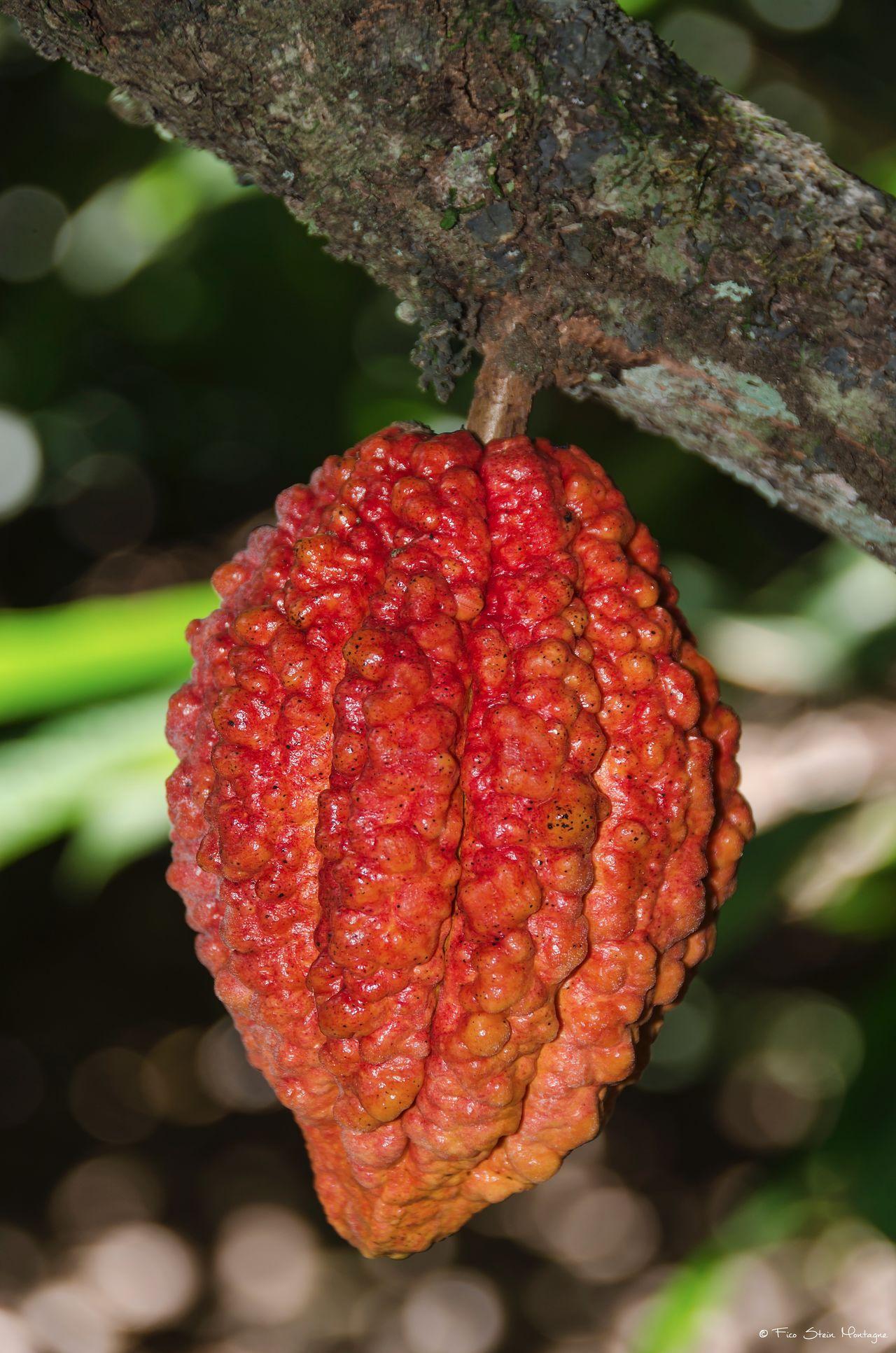 Cocoa Fruit Fruit Photography Fruit Tree Nature Nature Photography Sweet Trees