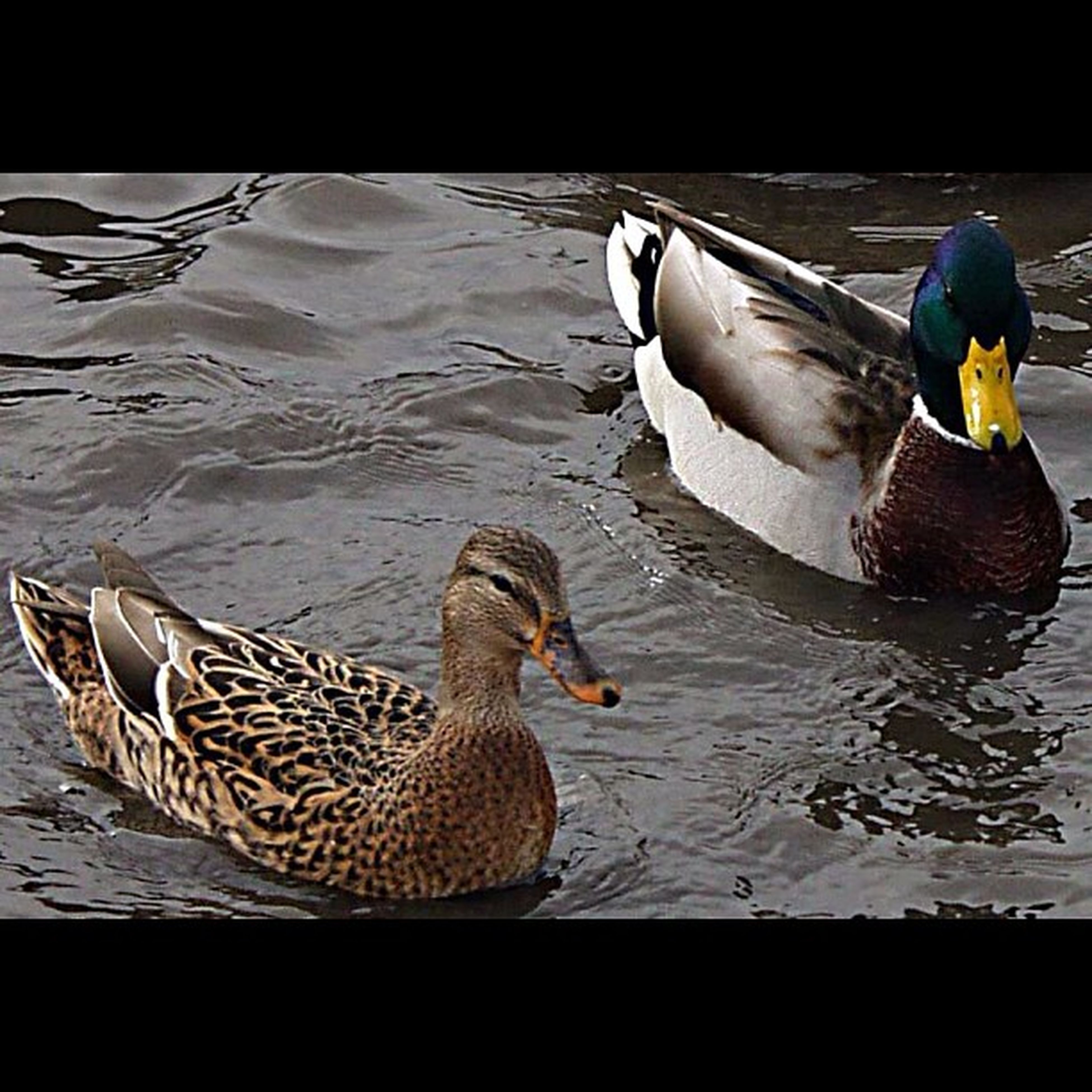 bird, water, animal themes, animals in the wild, wildlife, duck, lake, rippled, swimming, nature, river, water bird, mallard duck, outdoors, high angle view, waterfront, swan, two animals, side view, day