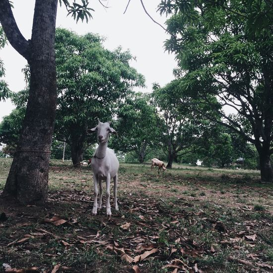 Tree Animal Themes Domestic Animals Mammal Pets One Animal Dog Day Field Goat Growth Outdoors Nature No People Sky