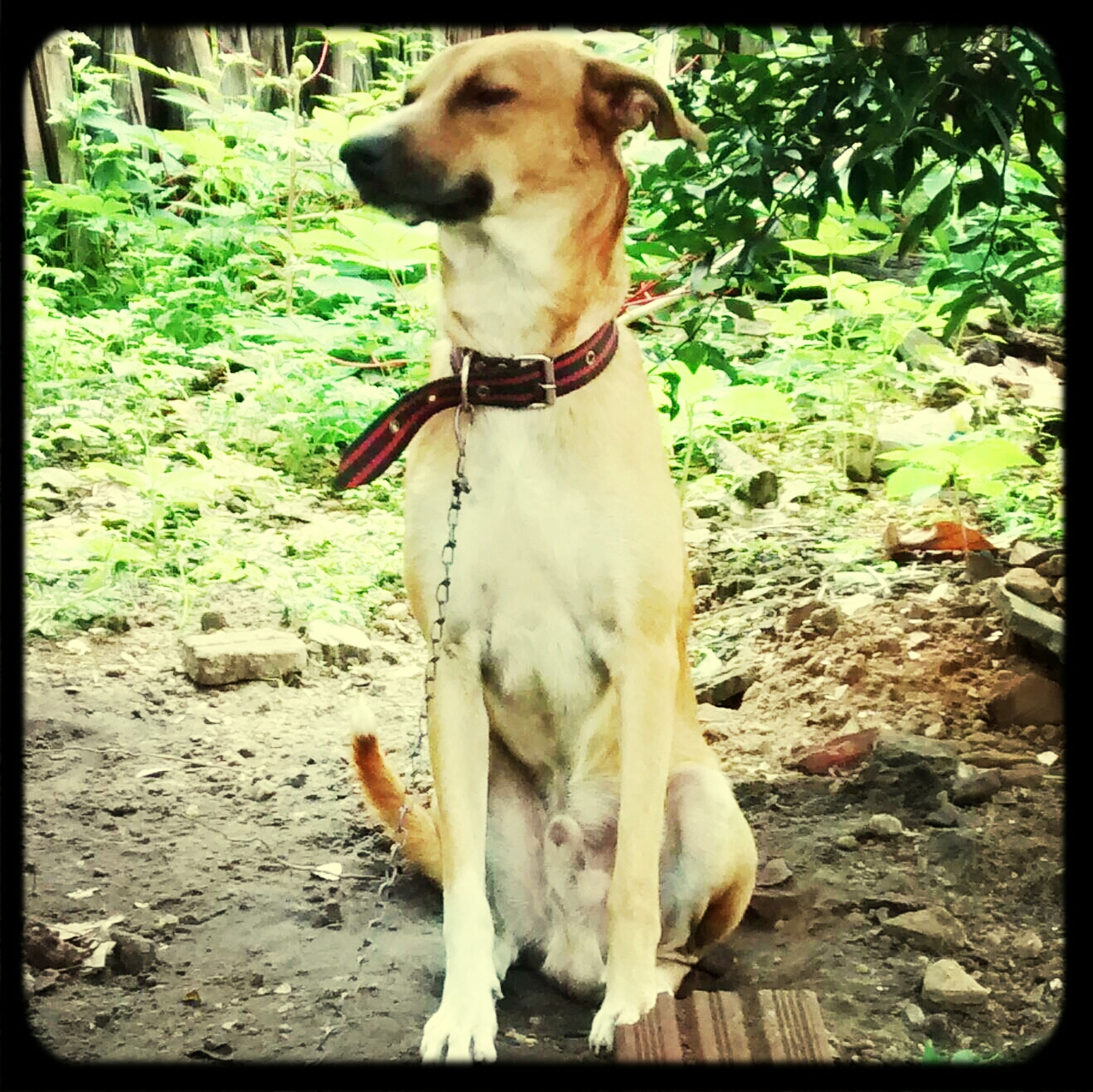 dog, animal themes, pets, domestic animals, one animal, mammal, transfer print, auto post production filter, pet collar, full length, sitting, day, zoology, brown, outdoors, no people, standing, looking at camera, animal head