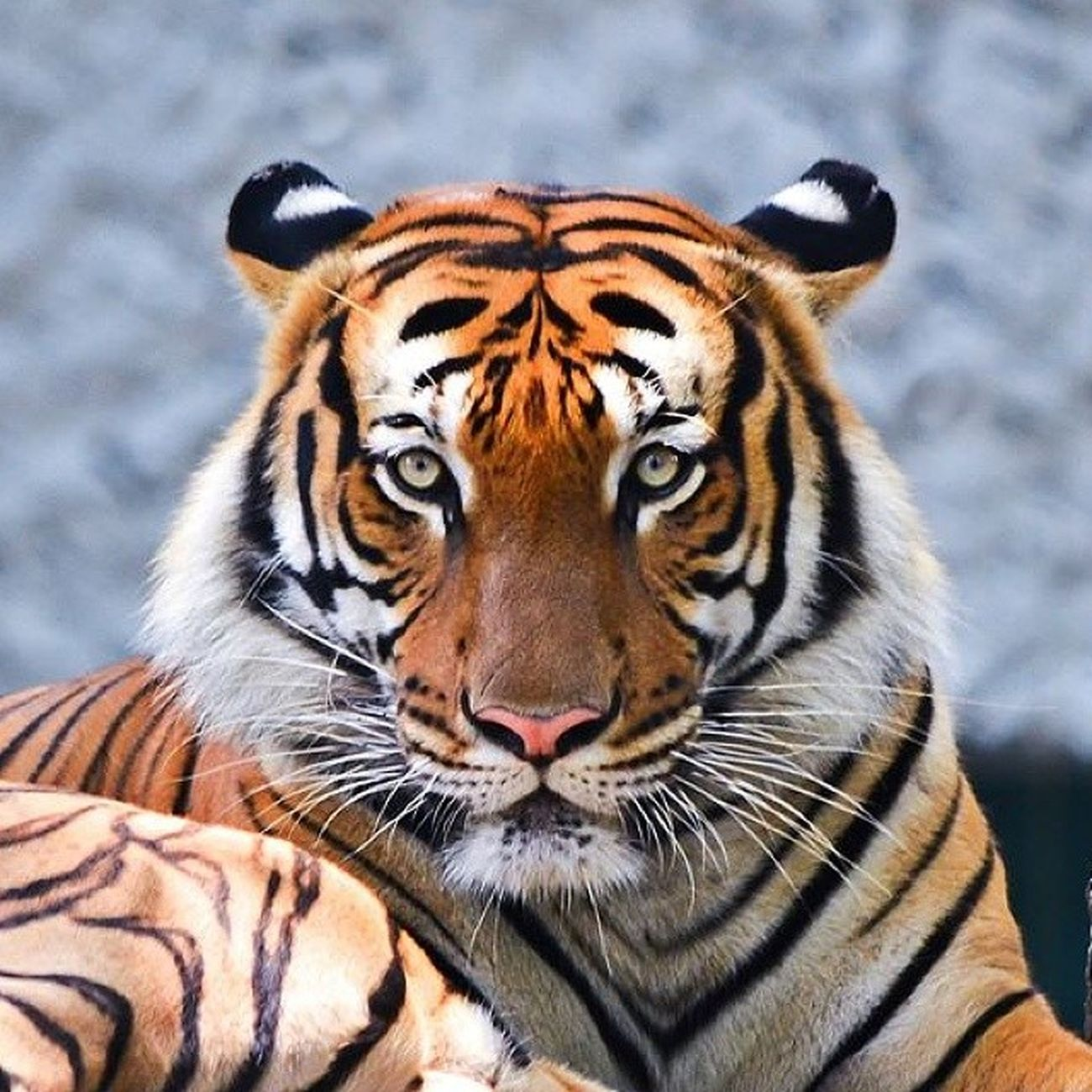 They are no doubt, to me as one of the most beautiful creatures on earth.. Tiger Malayantiger Nationalzoo Nofilter