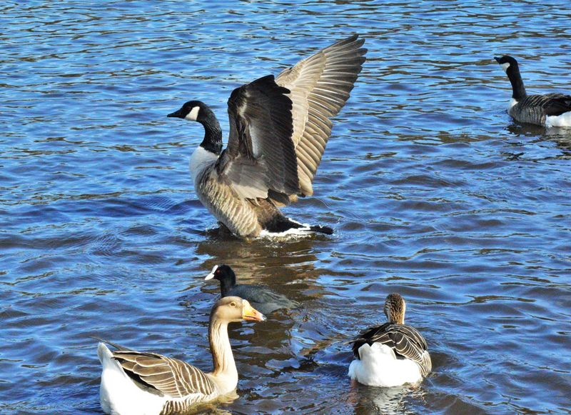 Animal Themes Animal Wildlife Animals In The Wild Bird Canada Goose Day Feather  Geese Lake Nature No People Outdoors Preening Spread Wings Swan Water Water Bird Waterfront Wings Wings Spread Wingspan