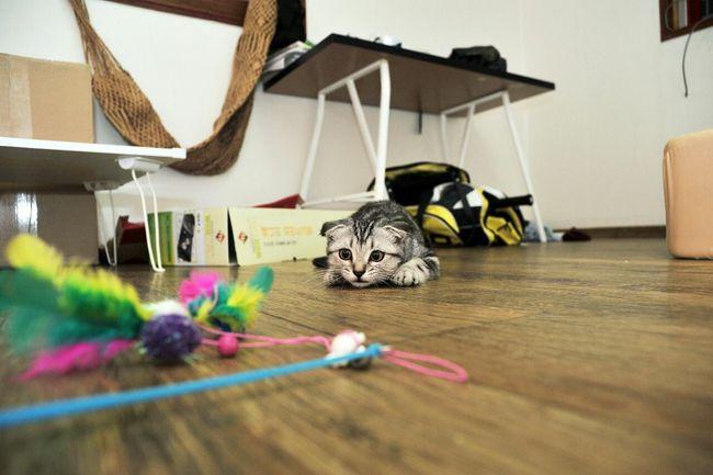 Cats Pponyang 뽀냥이 집사 Scottishfold