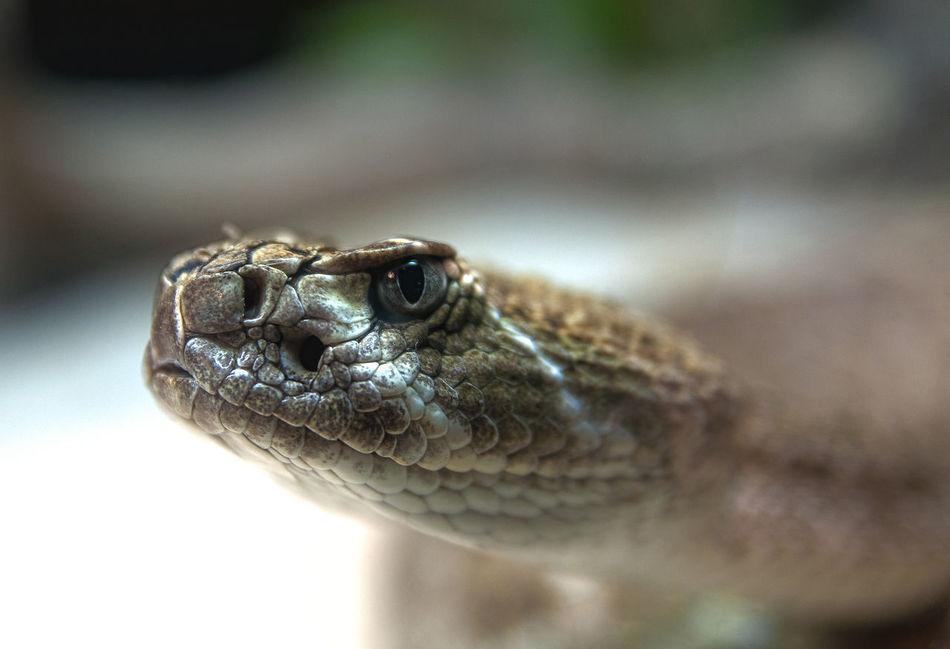 Beautiful stock photos of snakes, Animal Eye, Animal Scale, Animal Themes, Animal Wildlife