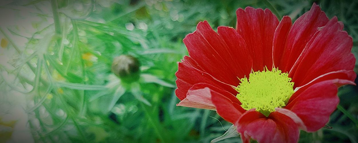 Flower Freshness Fragility Red Petal Flower Head Close-up Growth Beauty In Nature Nature Plant Vibrant Color In Bloom Focus On Foreground Green Color Outdoors Day Blooming Blossom Springtime