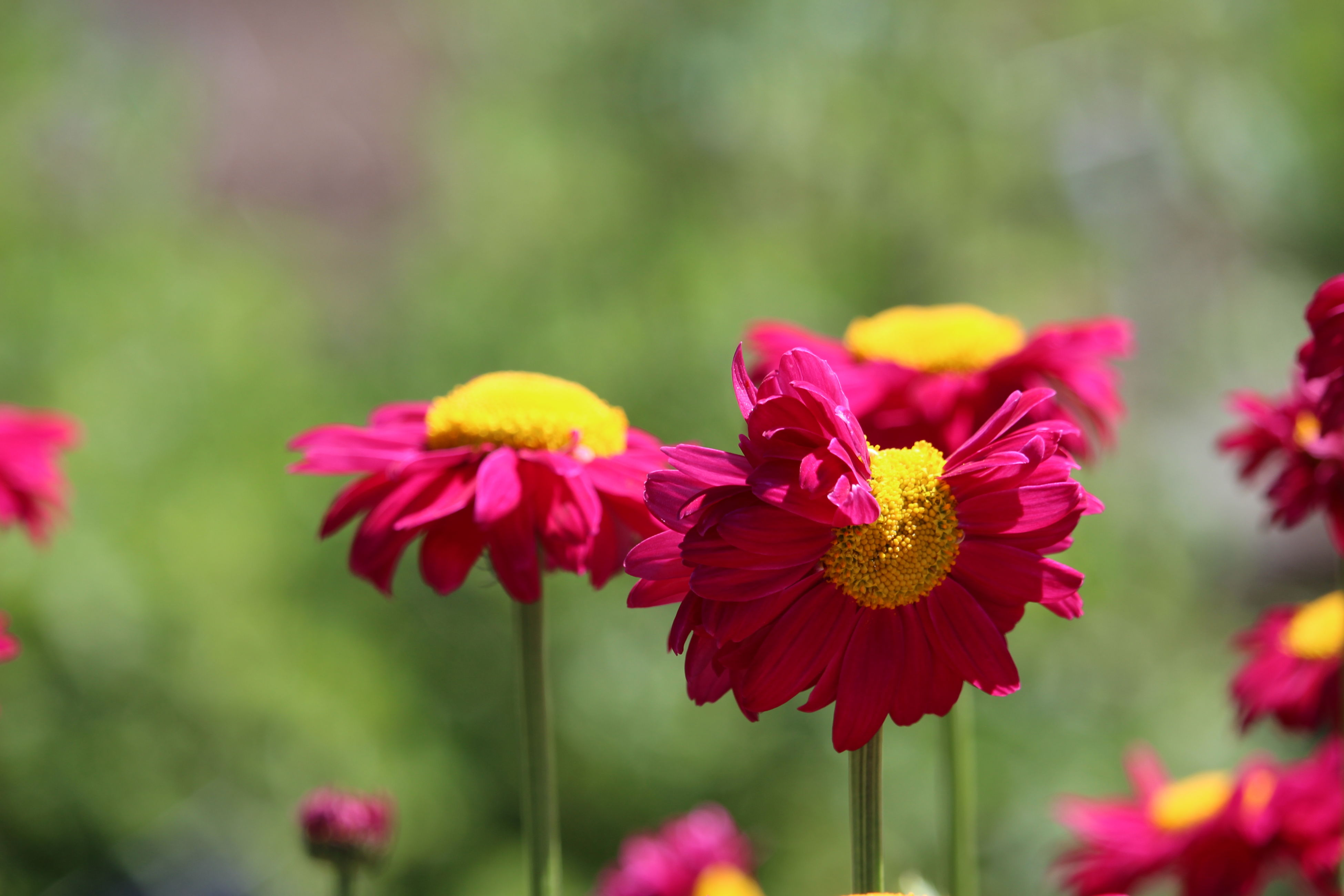 flower, petal, fragility, beauty in nature, growth, nature, freshness, flower head, plant, yellow, blooming, no people, focus on foreground, red, day, outdoors, close-up