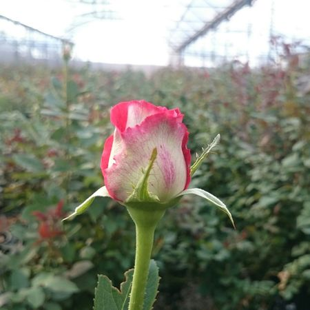 Rose🌹 Flowers Flower Greenhouse Garden Workplace Florist XperiaZ1 Z1