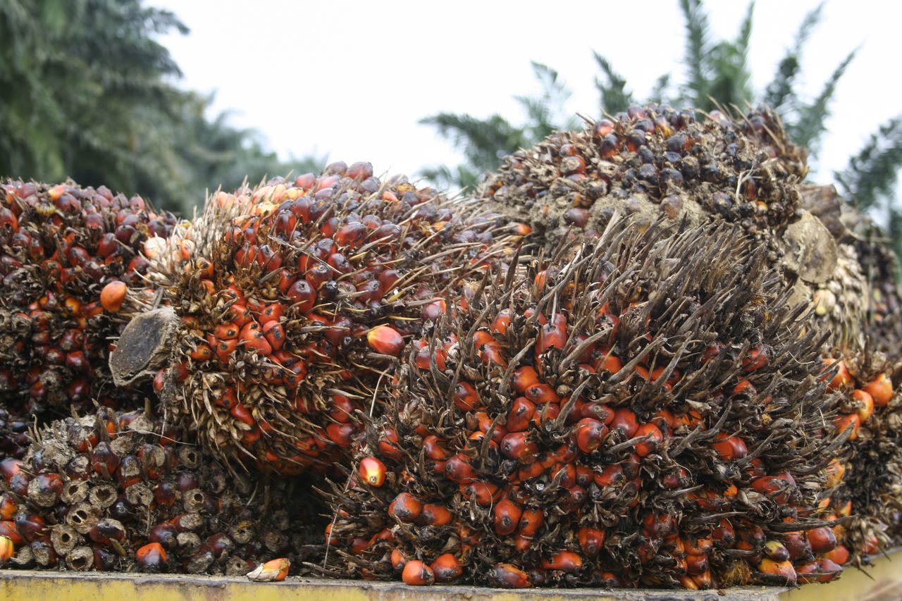 Agriculture Asian Food Day Factory Growth Healthy Eating Healthy Lifestyle Nature No People Outdoors Palm Oil Palm Oil Fruit Palm Oil Industry Palm Oil Mill Palm Tree Palm Trees Tree