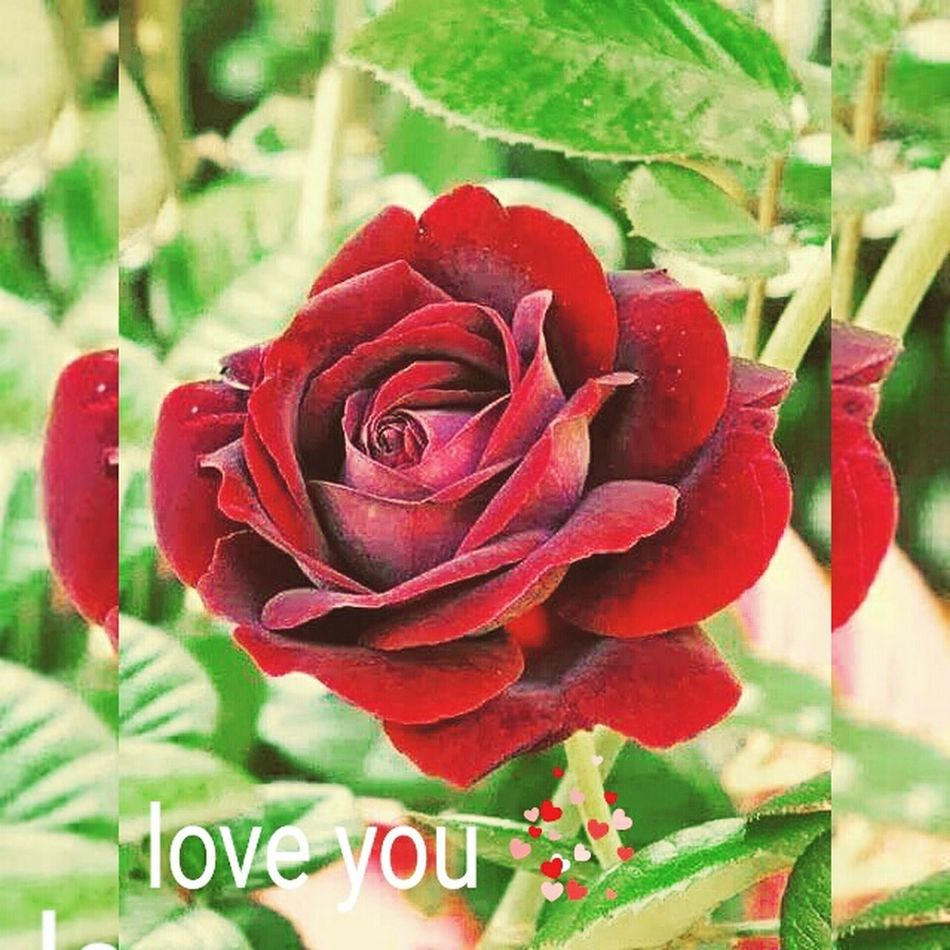 Beautiful Sweet Colors Of Nature Nature_collection Red Rose
