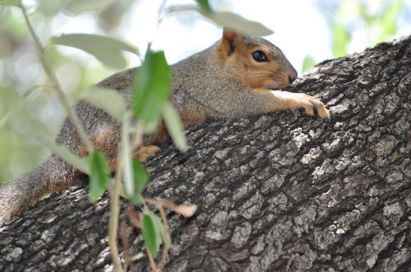 Squirrel relaxing on a tree trunk Animal Photography Animal Themes Animal Wildlife Animals In The Wild Branch Close-up Day Eichhörnchen Fur Hiding Looking Mammal Nature No People One Animal Outdoor Photography Outdoors Park Relaxing Rodent Selective Focus Small Animal Squirrel Tree Tree Trunk