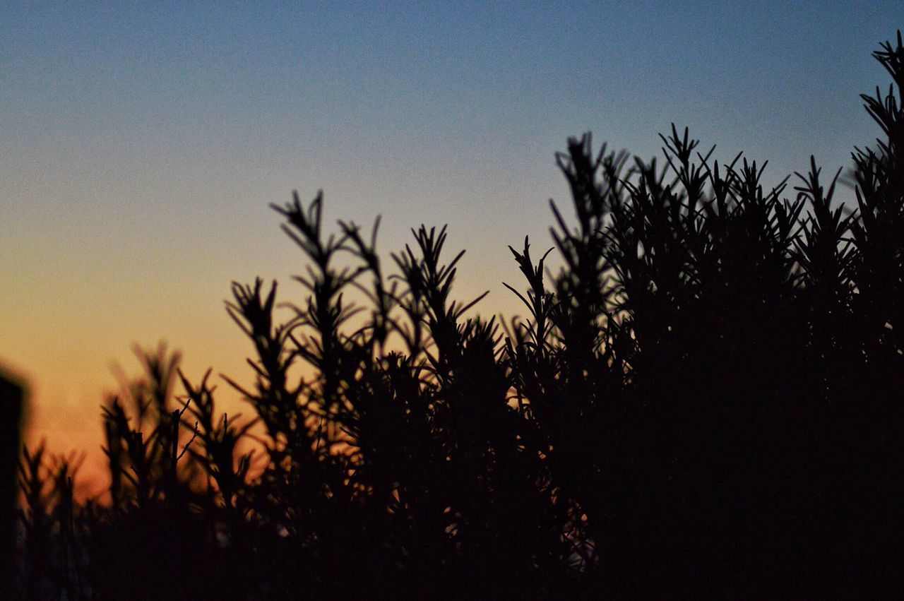 Low Angle View Of Silhouette Plants Growing Against Clear Sky During Sunset