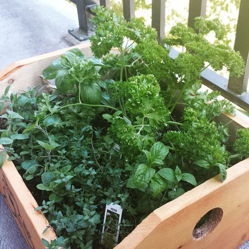 My daughter's cute little Herb Garden is growing a plenty with all this Summer like weather🌱🌞🌱 HappyFriday Friyay Weekendishere Howdoesyourgardengrow Plants Gardening Plantlifebalance Patioseason Beautifulbc Healthychoices Healthy Growyourfood Green Nature