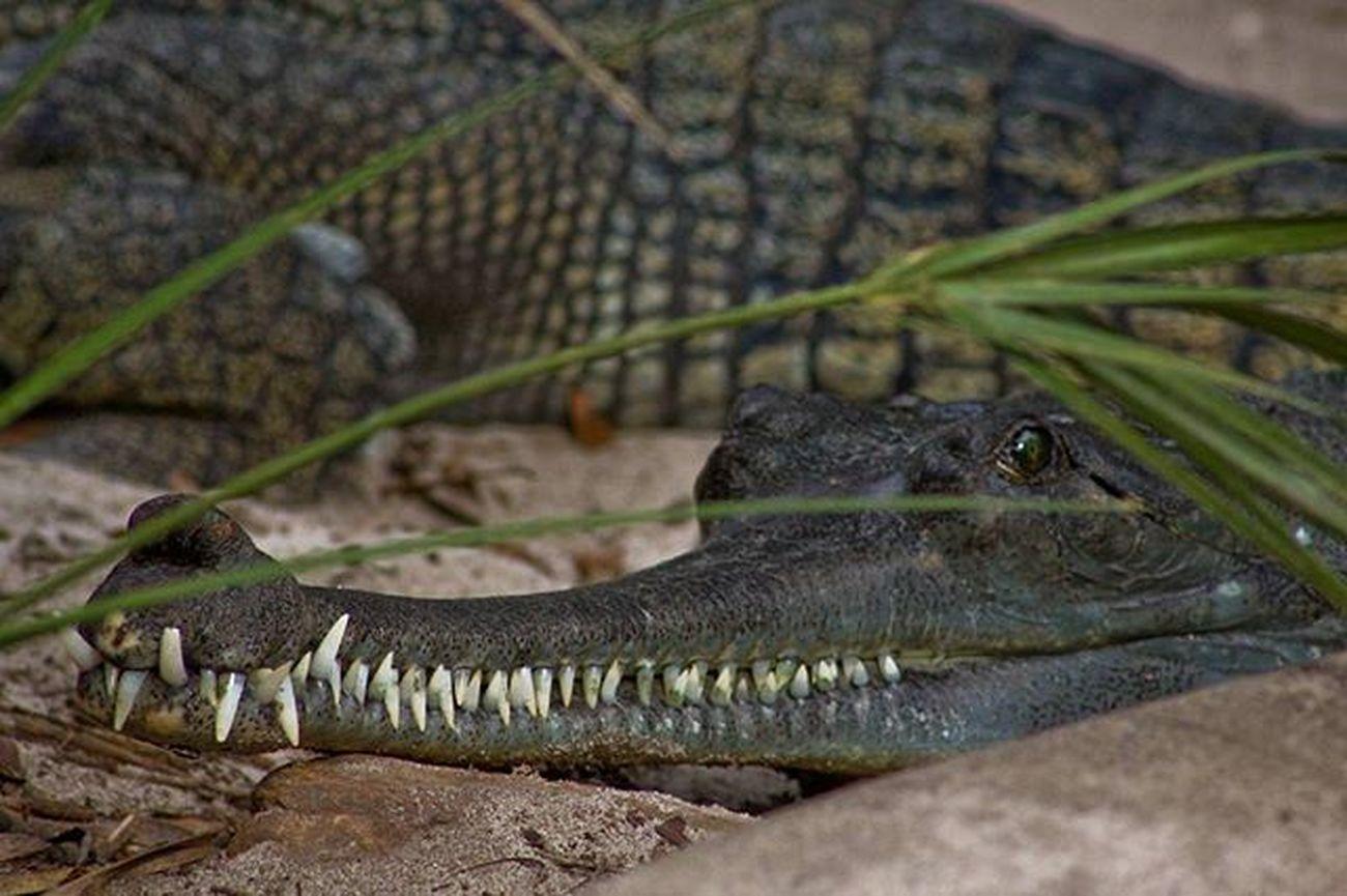 Croc smile. @staugalligatorfarm Crocdile Alligatorfarm Animals Nature Naturelovers Grill Smile Instagood Igersjax Igersstaugustine IlovesStAugustine Picoftheday Pureflorida Ig_great_pics Roamflorida 904skyporn Eyesofjax Onlyinduval Voidlive Staugustine Florida Canon