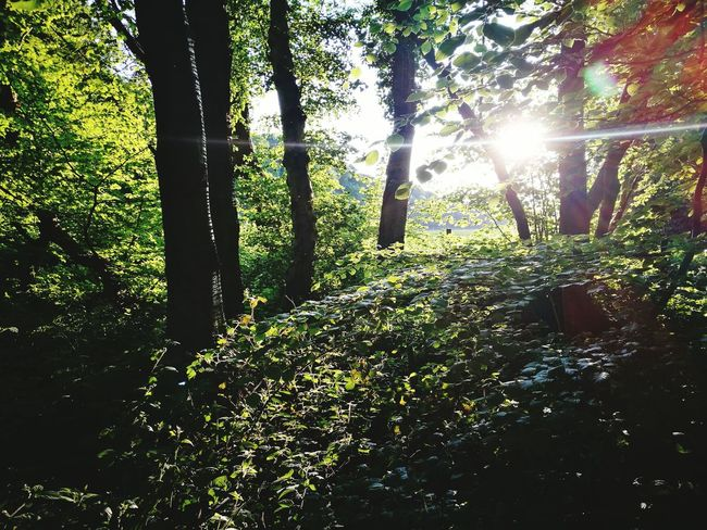 Tree Sunbeam Nature Sunlight Lens Flare Growth Beauty In Nature Sun Outdoors Forest Tranquility Scenics Day Tranquil Scene No People Green Color Tree Trunk Low Angle View Branch Landscape