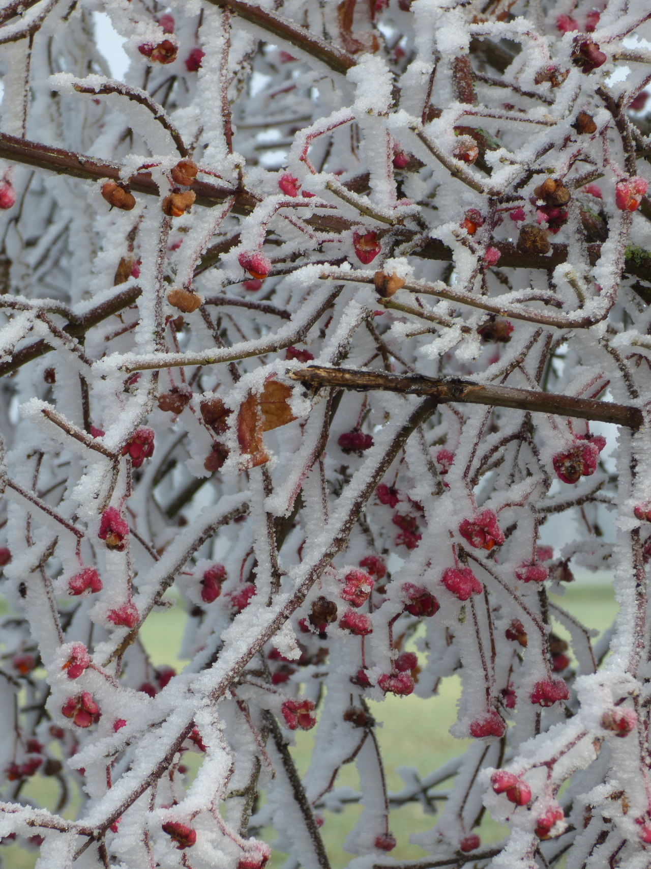 Frozen fruits Beauty In Nature Branch Close-up Cold Temperature Colours Day Frost Frozen Growth Ice Nature No People Outdoors Red Rose Hip Rowanberry Snow Tree Weather Winter