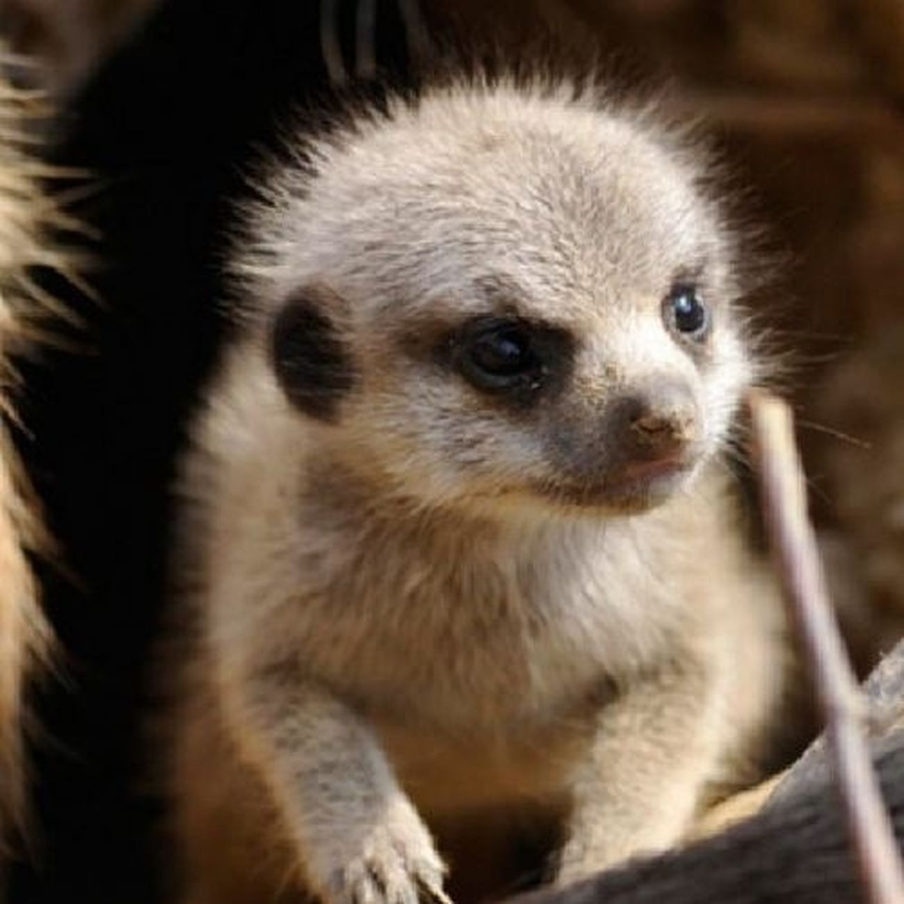 Meerkat Cute Adorable Awwwwww!!!!!!!!