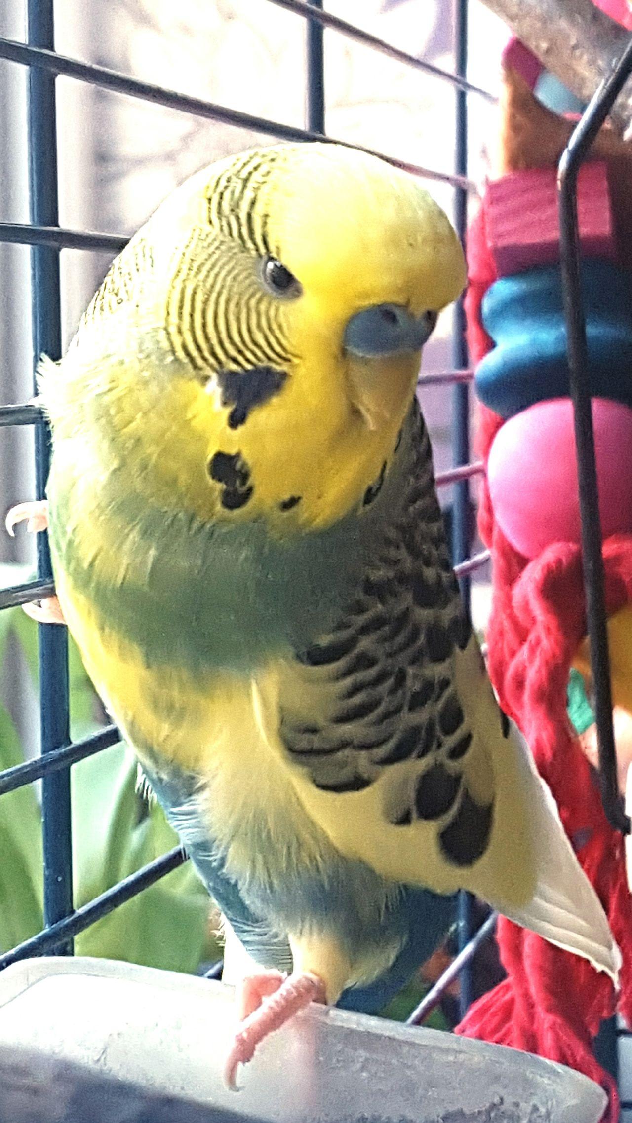 Budgies Birds_collection EyeEm Birds Welovebudgies Bird Photography Budgerigar Birds🐦⛅ Our Feathered Friends Beautiful Birds