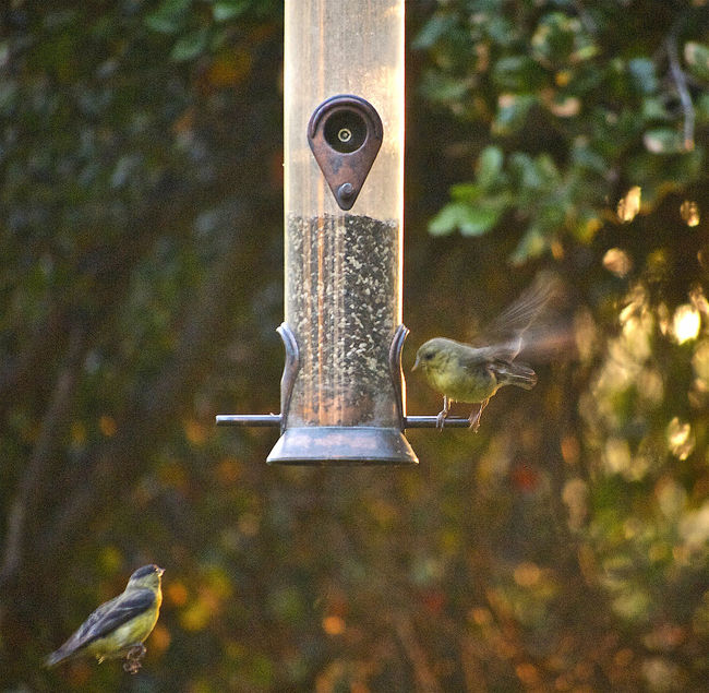 Composition Evening Sunset Favorite Picture Feeder Flying Bird Garden House Finches Lines And Angles Moment Captured Warm Light