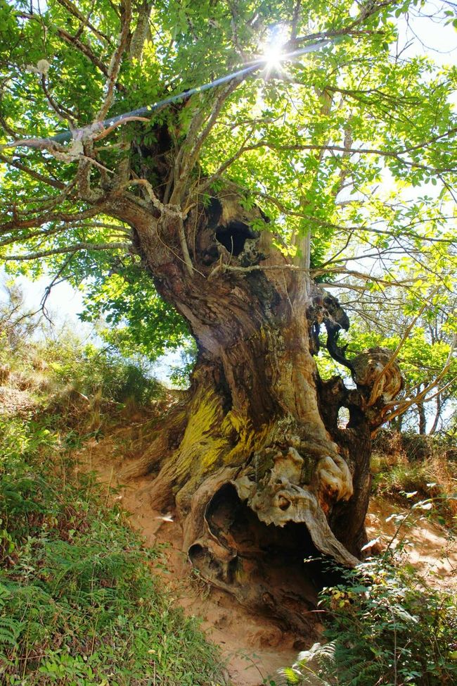 Tree Trunk Tree Growth Low Angle View Branch Tranquility Tranquil Scene Nature Scenics Green Color Beauty In Nature No People Majestic Long Growing Nature Ancient Ancient Tree EyeEm Gallery Check This Out Lasmédulas Las Medulas Las Medulas(Leon) Castillayleon