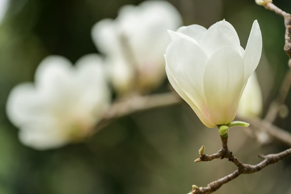 Beautiful stock photos of magnolia, Beauty In Nature, Blossom, Branch, China