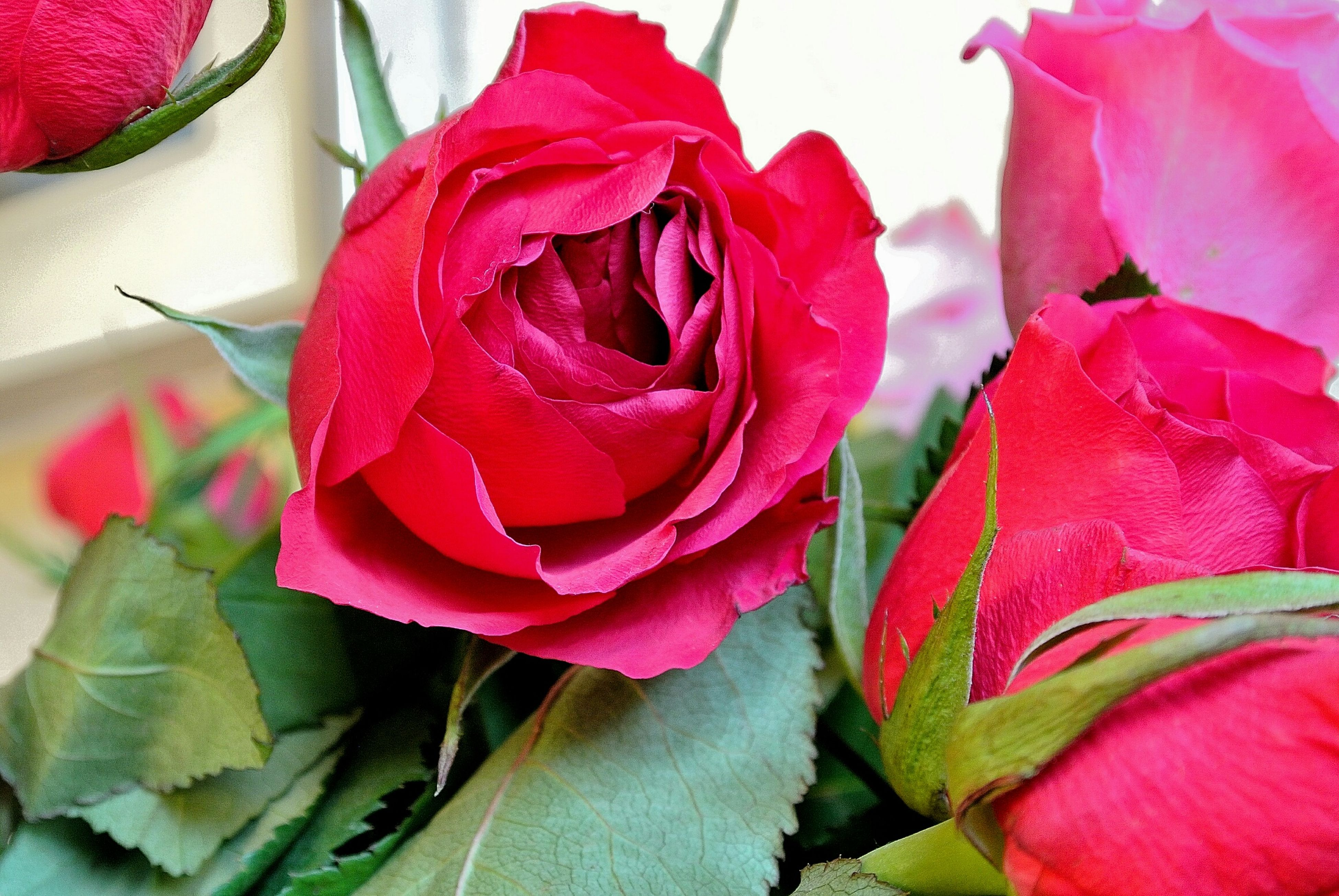 flower, petal, freshness, rose - flower, fragility, flower head, beauty in nature, pink color, close-up, growth, red, leaf, rose, nature, plant, blooming, pink, indoors, softness, in bloom