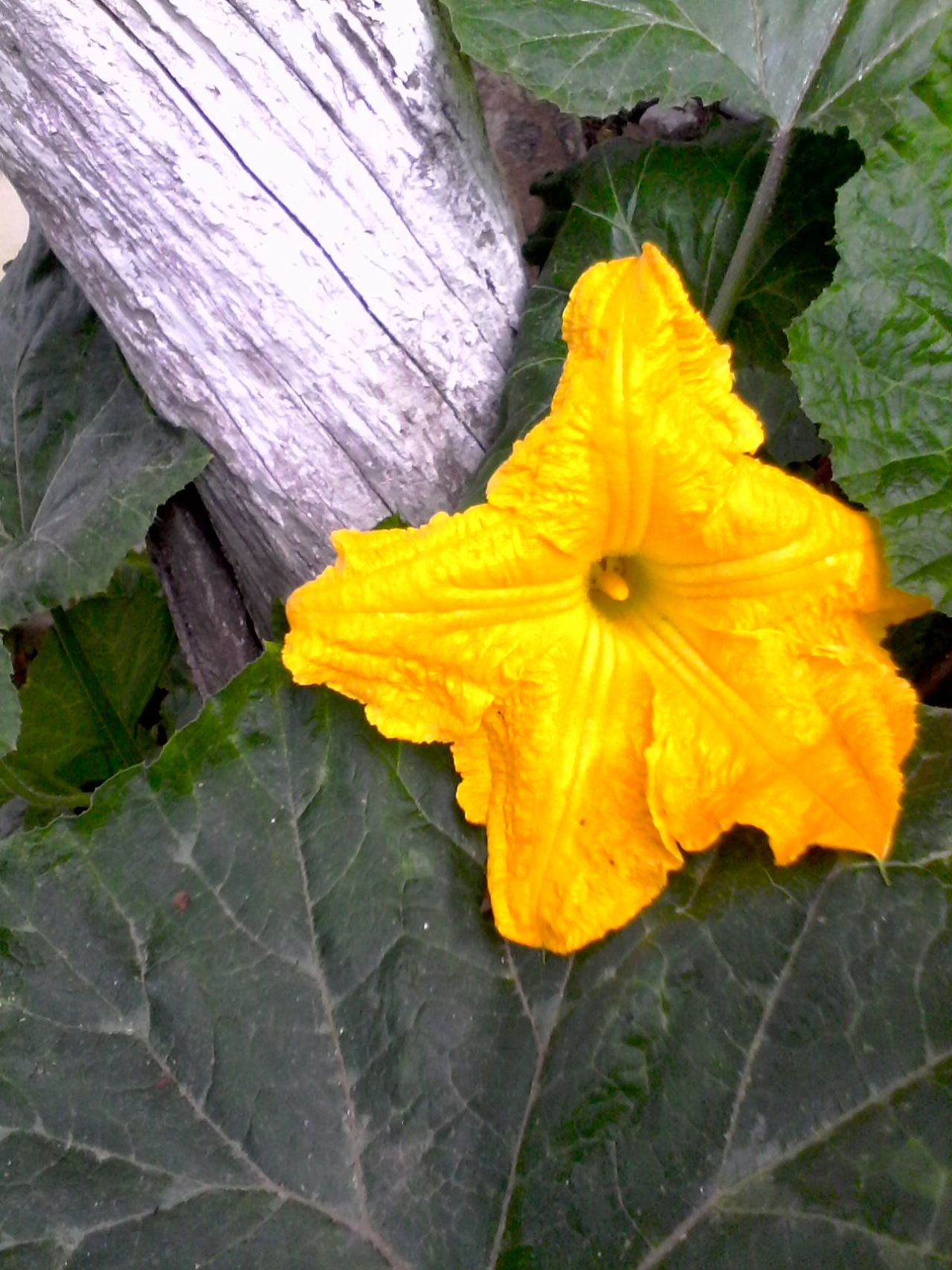 Unedited Color Photo 2016 Blossom Unedited Photo Pumpkin Plant Unedited Plant Nature @wolfzuachis Romanian  Eyeem Market Ionitaveronica Plants Green In My Backyard Eyeemphoto Showcase: August Vines Showcase: 2016 Wolfzuachis Slowfood Original Content Pumpkin Blossom Pumpkin Leaves Pumpkin Flower