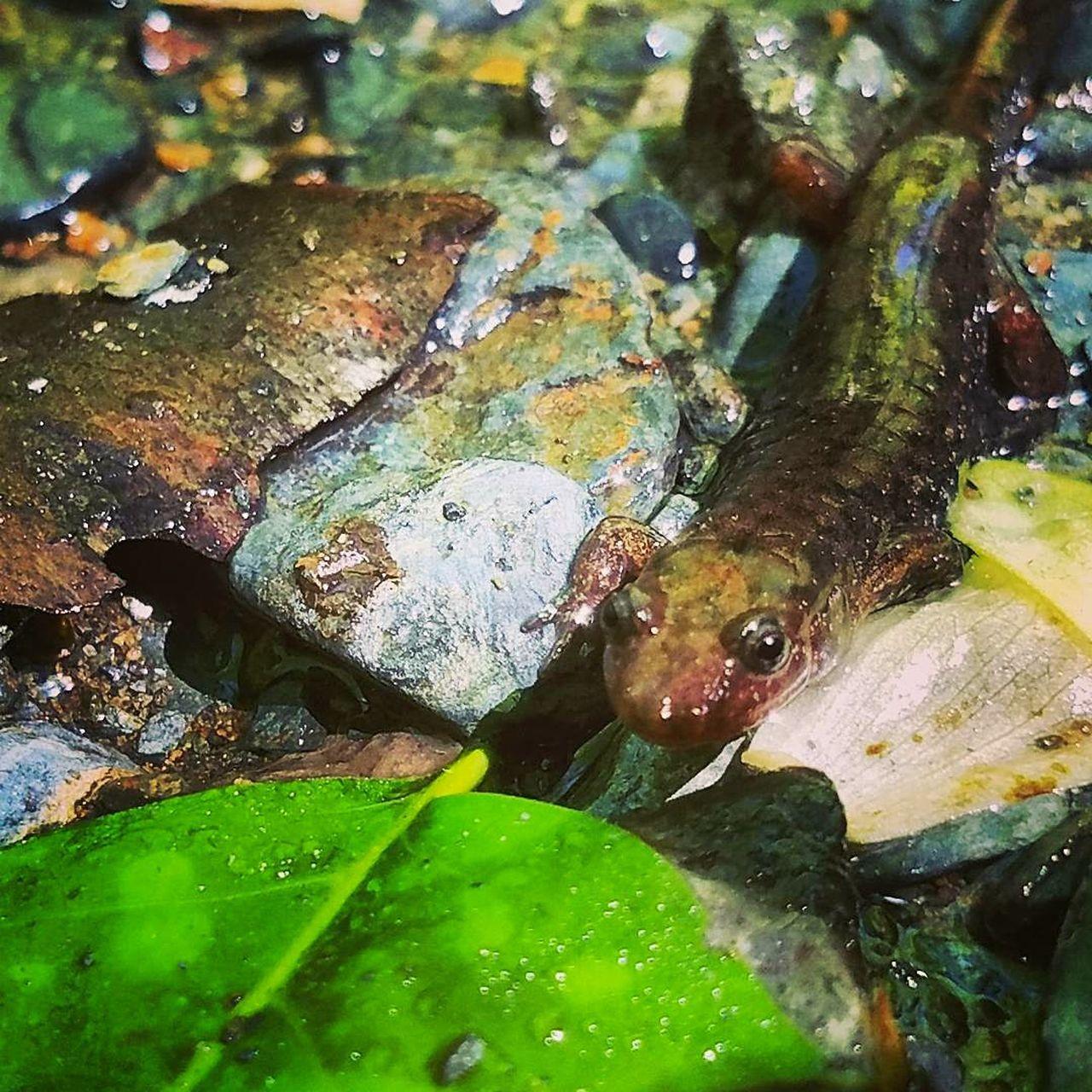 Salamander Great Smoky Mountains  Nature Salamanders Of The Great Smoky Mountains Close-up