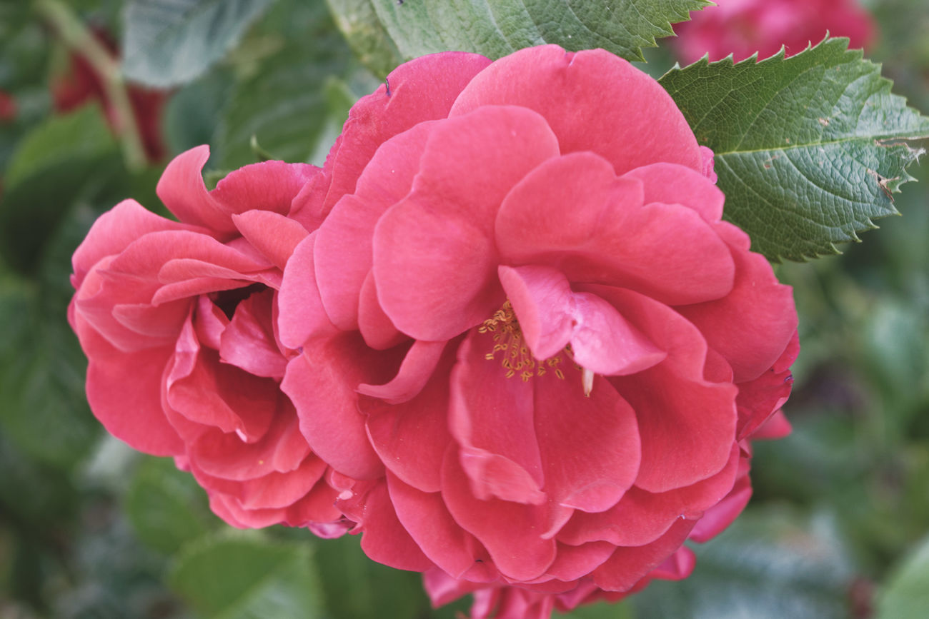 Beauty In Nature Blooming Flower Flower Head Focus On Foreground Nature Pink Color Plant