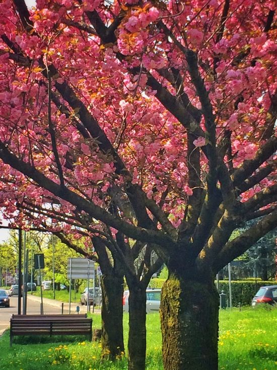 Home Springtime Spring Building Trees Urban Nature Nature_collection Spring Has Arrived Pink Pink Flower