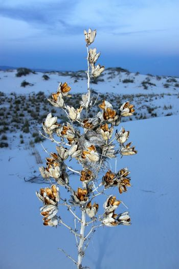 Yuccaplant Yucca Flower Arid Climate Desert Beauty In Nature No People Flower Tranquility Outdoors WhiteSands National Park